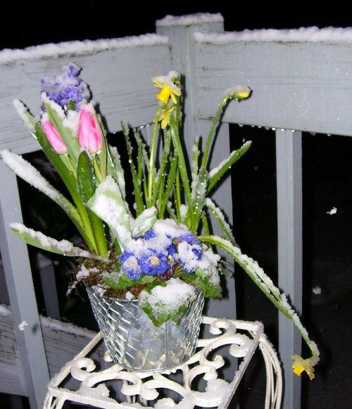 Snow on daffodil 4 (4)