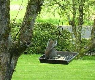 Squirrel at birdfeeder 1 (4)