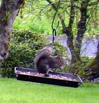 Squirrel at birdfeeder 3