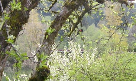 Redwing blackbird 1 (2)