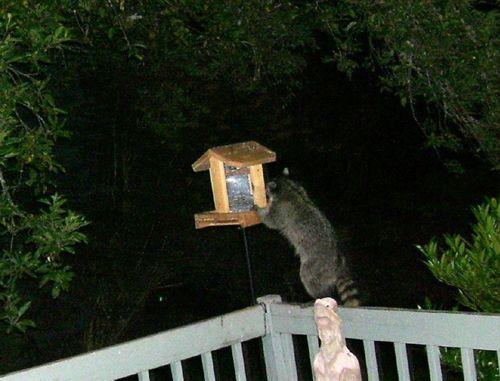 Raccoon at feeder 3