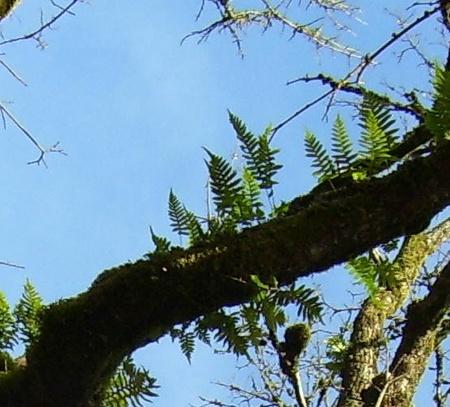 Tree_fern_3